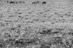 Flock av sebror som går på etosha Namibia _ bw-orgasmen smärtar version Fotografering för Bildbyråer