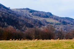 Flock av sheeps royaltyfri bild