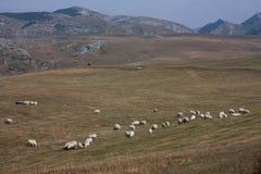 Flock av sheeps Arkivbilder