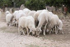 Flock av sheeps royaltyfria bilder