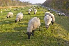 Flock av Sheeps på fördämningen Arkivbilder