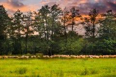 Flock av sheeps som betar på det gröna fältet Det utformade materielfotoet med det härligt betar och sheepsna i Rumänien arkivfoton