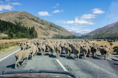 Flock av sheeps som korsar vägen i Nya Zeeland arkivfoton