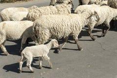 Flock av sheeps arkivfoto