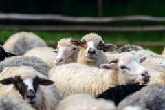 Flock av sheepscloseupen Arkivbild