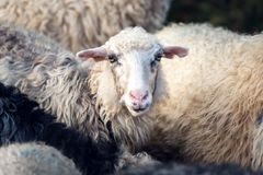 Flock av sheepscloseupen Arkivfoto
