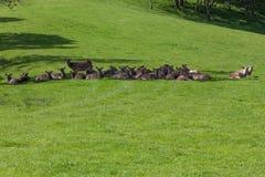 Flock av Sika hjortar royaltyfria foton