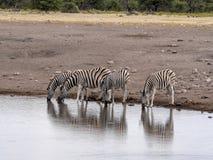 Flock av slättar sebra, Equusquagga, på waterhole, Namibia royaltyfri fotografi