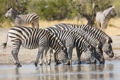 Flock av slättsebran (Equusburchellii) som dricker i Sydafrika Arkivfoto