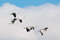 Flock av Snowgäss Royaltyfri Fotografi