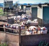 Flock av spädgrisar i svinpenna Arkivfoton