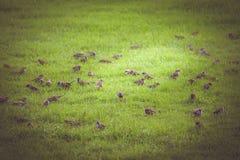 Flock av sparvar Royaltyfri Bild