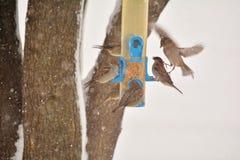 Flock av sparvar på vinterförlagemataren Royaltyfri Bild