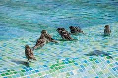 Flock av sparvar som badar i det grunda slutet av en simbassäng arkivbilder