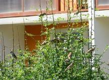 Flock av sparvar som framme sitter i en buske av byggnaden Arkivbilder