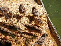 Flock av sparvar som matar på korn, ett med den öppna näbb royaltyfria bilder