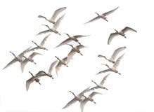 Flock av spoonbills som flyger i vintermorgon royaltyfri bild