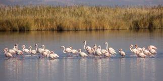Flock av större flamingo Fotografering för Bildbyråer