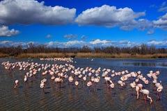 Flock av större flamingo, Phoenicopterus ruber, trevlig rosa stor fågel som dansar i vattnet, djur i naturlivsmiljön blå sky arkivbilder