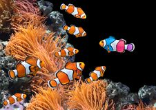 Flock av standarda clownfish och en färgrik fisk arkivfoto
