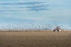Flock av stareflugan royaltyfria foton