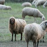Flock av stirriga får Får i natur på äng Bruka som är utomhus- i Tuscany royaltyfri foto