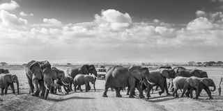 Flock av stora lösa elefanter som korsar smutsroadi i den Amboseli nationalparken, Kenya Arkivfoto