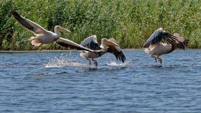 Flock av stora vita pelikan på Danube River royaltyfri fotografi