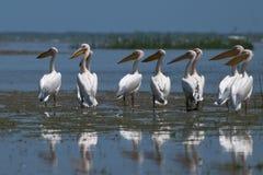 Flock av stora vitpelikan Arkivbild