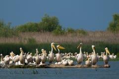 Flock av stora vitpelikan Fotografering för Bildbyråer