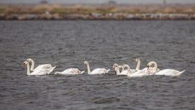 Flock av stumma svanar som simmar och matar royaltyfria bilder
