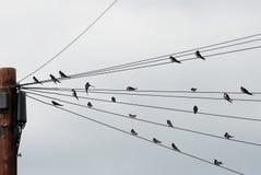 Flock av svalor som samlas in på telegraftrådar Arkivbild