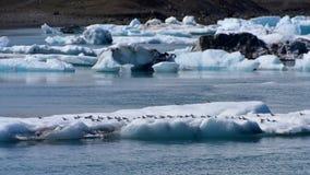 Flock av svalor som vilar på ett isberg i Island Royaltyfri Fotografi