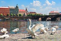 Flock av svanar i Prague fotografering för bildbyråer
