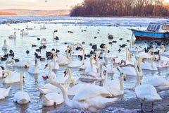 Flock av svanar på djupfryst Donau arkivbild