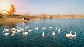 Flock av svanar på en sjö royaltyfria bilder