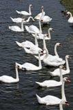 Flock av svanar på en sjökust i Irland royaltyfria foton