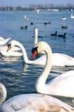 Flock av svanar på floden royaltyfri bild