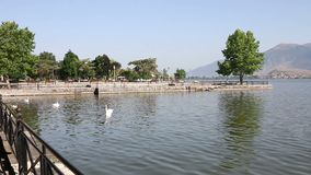 Flock av svanar på sjön Ioannina arkivfilmer