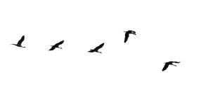 Flock av svanar som isoleras på vit bakgrund fotografering för bildbyråer