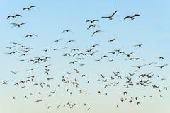 Flock av svart-hövdade fiskmåsar Fotografering för Bildbyråer