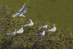 Flock av svart naped förälskade tärnafåglar Royaltyfri Foto