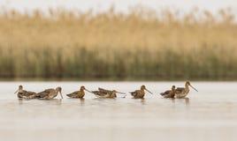 Flock av Svart-tailed Godwitmatning royaltyfri fotografi