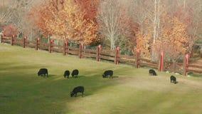 Flock av svarta får och betande gräs för RAM på den fäktade ängen på den soliga dagen lager videofilmer