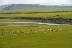 Flock av svarta får som betar på en vidsträckt slätt i den Orkhon dalen royaltyfri foto
