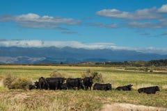 Flock av svarta tjurar arkivfoton