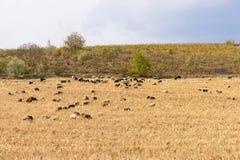 Flock av svartvita sheeps på ett havrefält arkivbilder