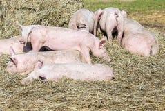 Flock av svin i en bio lantgård arkivfoto