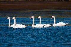 Flock av Swans på laken Royaltyfri Bild