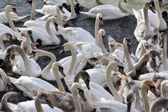 Flock av swans som in flyger i den Vistula floden i cracow Arkivbilder